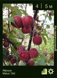 Яблоня-Malus-'Ola'