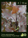 Тополь-дельтовидный-Populus-deltoides-'Purple-Tower'