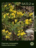 Ракитник-стелющийся-Cytisus-decumbens