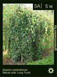 Береза-гималайская-Betula-utilis-'Long-Trunk'