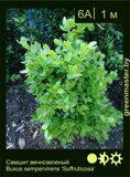 Самшит-вечнозеленый-Buxus-sempervirens-'Suffruticosa'