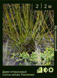 Дерен-отпрысковый-Cornus-sericea-'Flaviramea'