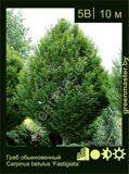 Граб-обыкновенный-Carpinus-betulus-'Fastigiata'
