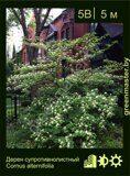 Дерен-супротивнолистный-Cornus-alternifolia
