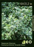 Бересклет-Форчуна-Euonymus-fortunei-'Emerald-Gaiety'