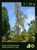 Береза-бородавчатая-Betula-pendula-'Tristis'