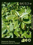 Бересклет-Форчуна-Euonymus-fortunei-'Sunspot'-1