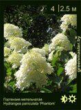 Гортензия-метельчатая-Hydrangea-paniculata-'Phantom'