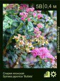 3-Спирея-японская,-Spiraea-japonica-'Bullata'