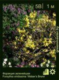 Форзиция-зеленейшая-Forsythia-viridissima-'Weber's-Bronx'