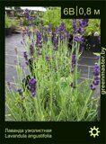 Лаванда-узколистная-Lavandula-angustifolia