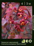 Бересклет-европейский-Euonymus-europaeus-'Red-Cascade'
