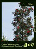Рябина-обыкновенная-Sorbus-aucuparia-'Fastigiata'