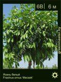 Ясень-белый-Fraxinus-ornus-'Mecsek'