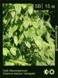 Граб-обыкновенный-Carpinus-betulus-'Variegata'