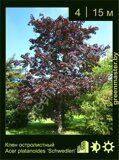 Клен-остролистный-Acer-platanoides-'Schwedleri'
