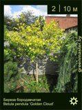 Береза-бородавчатая-Betula-pendula-'Golden-Cloud'