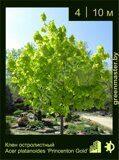 Клен-остролистный-Acer-platanoides-'Princeton-Gold-Prigo'