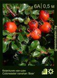 Кизильник-нан-шан-Cotoneaster-nanshan-'Boer'
