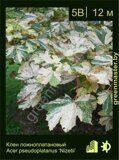 Клен-ложноплатановый-Acer-pseudoplatanus-'Nizetii'