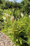 Sorbaria-sorbifolia