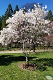 Магнолия-звездчатая-Magnolia-stellata
