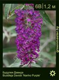 Буддлея-Давида-Buddleja-Davidii-'Nanho-Purple'