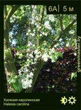 Халезия-каролинская-Halesia-carolina