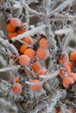 Облепиха-крушиновидная-Hippophae-rhamnoides