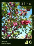 Яблоня-Malus-'Dolgo'