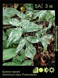 Бузина-черная-Sambucus-nigra-'Pulverulenta'