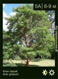 Клен-серый-Acer-griseum