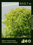 Дерен-отпрысковый-Cornus-sericea-'Kelseyi'