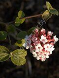 Калина-Карльса-цветы