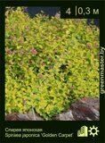 Спирея-японская-Spiraea-japonica-'Golden-Carpet'