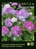 Гортензия-садовая-(пильчатая)-Hydrangea-serrata-'Preziosa'-1
