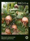 Мушмула-германская-Mespilus-germanica