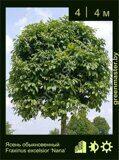 Ясень-обыкновенный-Fraxinus-excelsior-'Nana'