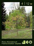 Ясень-обыкновенный-Fraxinus-excelsior-'Jaspidea'