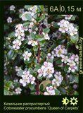 Кизильник-распростертый-Cotoneaster-procumbens-'Queen-of-Carpets'