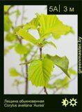 Лещина-обыкновенная-Corylus-avellana-'Aurea'