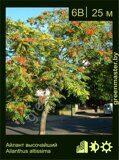 Айлант-высочайший-Ailanthus-altissima