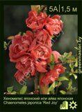 Хеномелес-японский-или-айва-японская-Chaenomeles-japonica-'Red-Joy'