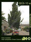 Клен-полевой-Acer-campestre-Green-Column