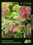 Спирея-японская-Spiraea-japonica-'Macrophylla'