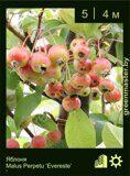 Яблоня-Malus-Perpetu-'Evereste'