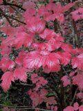 Калина-Саржента-листья