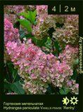 Гортензия-метельчатая-Hydrangea-paniculata-VANILLE-FRAISE-'Renhy'