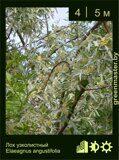 Лох-узколистный-Elaeagnus-angustifolia