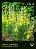 Ракитник-чернеющий-Cytisus-nigricans-'Cyni'
